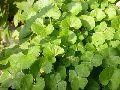 Brahmi Leaf Powder
