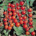 Exotic Tomato Plants