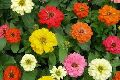 Zinnia Dwarf Flower Plants
