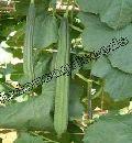 Indo Us 216 Ridge gourd F1 hybrid seeds