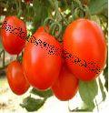 Indo Us 9999 Tomato F1 Hybrid Seeds