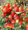Indo Us Rajshakti Tomato F1 Hybrid Seeds