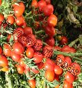 Indo Us Red Beauty Tomato F1 Hybrid Seeds
