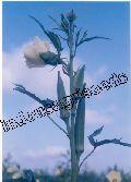 Indo Us Sungold Okra Op Seeds