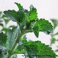 Stevia Herbal Plant