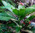 Rauvolfia Serpentina Benth Ex Plant (Sarpagandha)