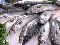 Mackrele Fish