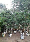 Casuarina Topiary Plants