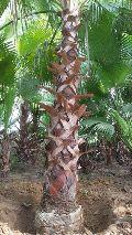Washingtonia Palm Plants