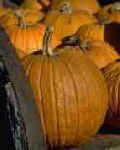Pumpkin (Orange)